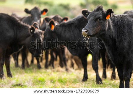 Beef cows and calfs grazing on grass in south west victoria, Australia. eating hay and silage. breeds include specked park, murray grey, angus and brangus.  Royalty-Free Stock Photo #1729306699
