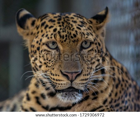 The beauty, the graceful posture of the various leaf leopard Royalty-Free Stock Photo #1729306972