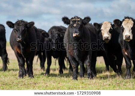 Beef cows and calfs grazing on grass in south west victoria, Australia. eating hay and silage. breeds include specked park, murray grey, angus and brangus.  #1729310908