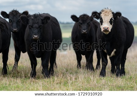 Beef cows and calfs grazing on grass in south west victoria, Australia. eating hay and silage. breeds include specked park, murray grey, angus and brangus.  #1729310920