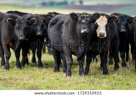 Beef cows and calfs grazing on grass in south west victoria, Australia. eating hay and silage. breeds include specked park, murray grey, angus and brangus.  #1729310923