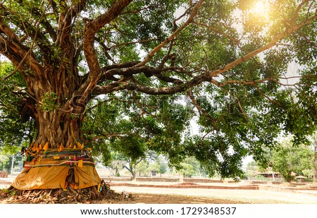 The leaves and branches of the Giant Bodhi tree (Bo Tree, Pipal Tree,Peepul tree,Sacred tree,Sacred fig Tree) in buddhist temple with sunlight in nature, taken in Thailand. #1729348537