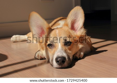 Welsh Corgi Pembroke Lazy Sunlight