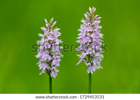 Dactylorhiza maculata, known as the heath spotted-orchid or moorland spotted orchid, is an herbaceous perennial plant of the family Orchidaceae.