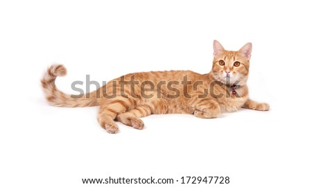 thai yellow cat isolated on white background #172947728