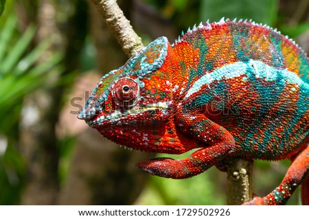 One Colorful chameleon on a branch in a national park on the island of Madagascar #1729502926