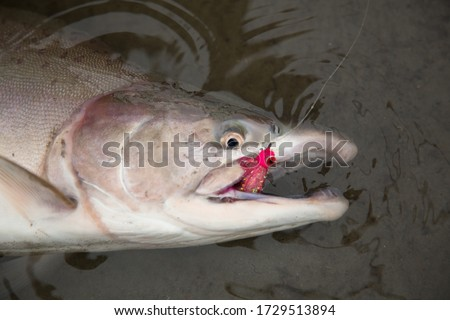 Pink salmon or humpback salmon (Oncorhynchus gorbuscha).  It is a species of anadromous fish in the salmon family, the smallest and most abundant of the Pacific salmon. Royalty-Free Stock Photo #1729513894