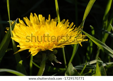 Dandelion macro photo. Yellow dandelion flower close-up. Green and black background. Blooming dandelion in the spring