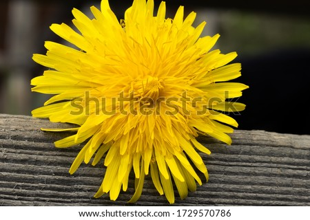 Dandelion macro photo. Yellow dandelion flower close-up on wooden surface. Green and black background. Blooming dandelion in the spring