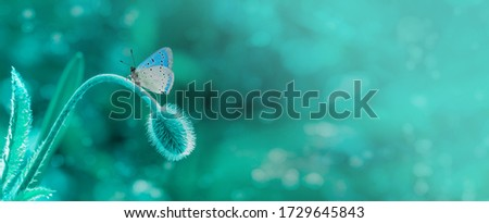 Dreamlike picture of butterfly on poppy flower bud ready to fly. Blue butterfly on a blured fairytale wild meadow background at morning. Space for text. Copyspace. Spring summer banner.