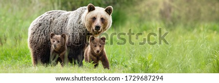 Brown bear, ursus arctos, mother with two cubs on green meadow with copy space. Wide panoramic banner of wild mammal with her lovely offsprings. Animal wildlife in summer nature. Royalty-Free Stock Photo #1729687294