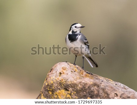 A close-up of White wagtail (Motacilla alba) on a stone #1729697335