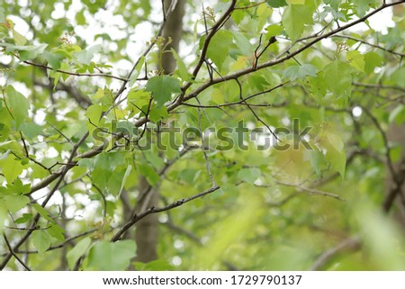 Leaves and crowns of trees close-up in the forest #1729790137