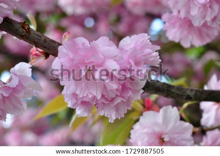 Blossoming pink sakura close up. Beautiful sakura blossom. Tender spring picture. Beautiful pink background. Many blooming pink flowers on the branches of the cherry trees. Beautiful spring sakura.