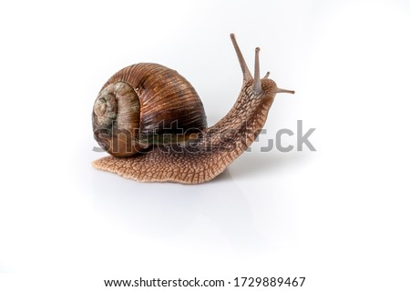 Helix Pomatia Snail with brown striped shell, crawl isolated on a white background Helix Pomatia Burgundy Roman, Escargot. space for text. Royalty-Free Stock Photo #1729889467