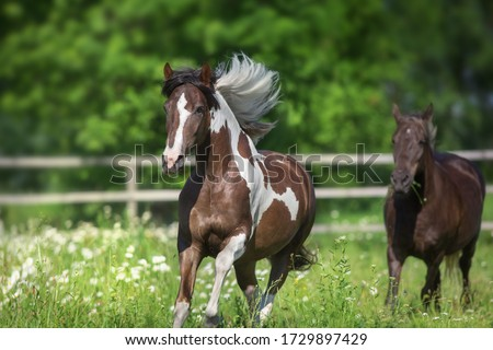 Pinto horse with long mane run gallop close up on spring chamomile meadow #1729897429