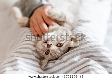 Playful and happy kitten in the hands.Portrait of cute grey cat.Scottish cat. Royalty-Free Stock Photo #1729901461