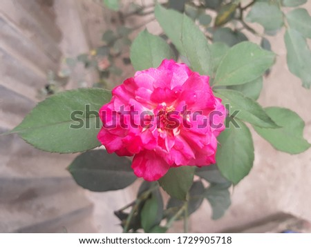 A rose is a woody perennial flowering plant of the genus Rosa,in the family Rosaceae,or the flower it bears.They form a group of plants that can be erect shrubs,climbing,trailing,with sharp prickles. #1729905718