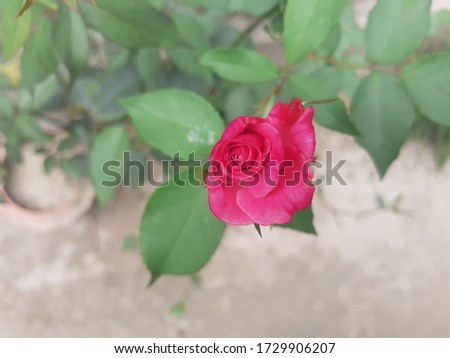 A rose is a woody perennial flowering plant of the genus Rosa,in the family Rosaceae,or the flower it bears.They form a group of plants that can be erect shrubs,climbing,trailing,with sharp prickles. #1729906207