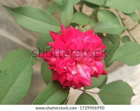 A rose is a woody perennial flowering plant of the genus Rosa,in the family Rosaceae,or the flower it bears.They form a group of plants that can be erect shrubs,climbing,trailing,with sharp prickles. #1729906990