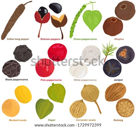 Vector of aromatic Herb seed, vegetable - pepper, peppercorn, allspice, juniper, mustard seeds, caper, coriander, nutmeg. Healthy ingredients. Colorful set of food illustration isolated on white backg #1729972399