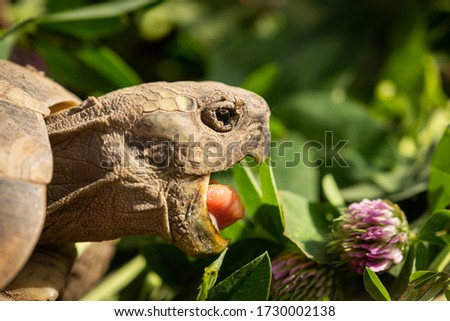 Portrait of a a tortoise (Testudo hermanni boettgeri) biting into a red clover plant, sunny day in springtime Royalty-Free Stock Photo #1730002138