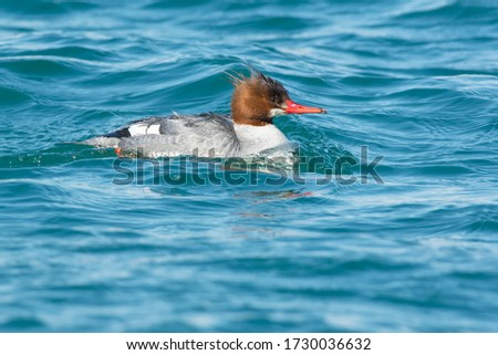 A juvenile male Common Merganser is swimming in choppy blue water. Also knowan as a Buff-breasted merganser or Goosander. Ashbridges Bay Park, Toronto, Ontario, Canada. #1730036632