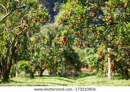 Orange tree #173010806