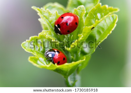 Macro of two ladybugs on the leaves Royalty-Free Stock Photo #1730185918