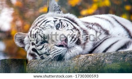 Closeup portrait of a siberian white tiger Royalty-Free Stock Photo #1730300593