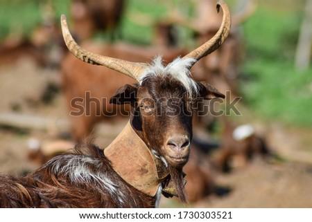 Closeup picture of a spanish domestic goat in La Palma, Canary Islands