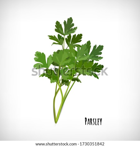 Image of parsley fresh leaves spice plant . Isolated bunch of parsley on vignette background. Lettering Parsley. Herb vector elements for web design. Vector illustration. #1730351842