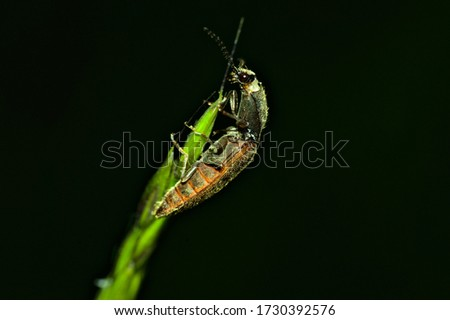A click beetle sits on a stalk of wheat and climbs up it. The picture was taken on the evening of a sunny day. The background was flashed black