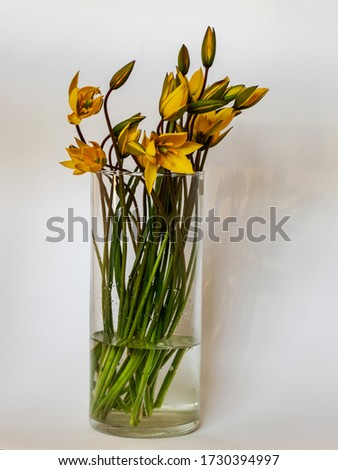 picture with yellow wild tulips in a vase on a solid background