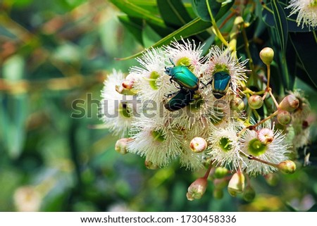 Green fruit beetles on the flower. Cotinis mutabilis, also known as the figeater beetle (also green fruit beetle or fig beetle), is a member of the scarab beetle family. #1730458336