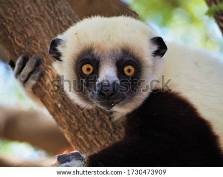 Sifaka lemur in Ankarafantsika National Park, Madagascar