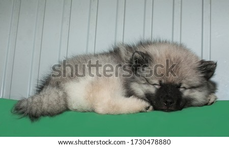 Tiny keeshond  puppy is sleeping on a green pillow #1730478880