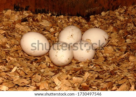 Fresh eggs in the nest. The egg is dirty white in the roots. Chicken egg. The egg is on sawdust. Pictured is 5 eggs. Copy space. Close-up.