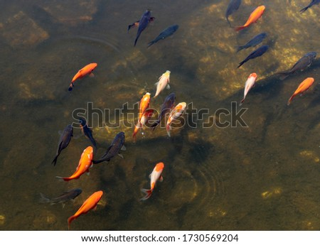 Small orange and black fishes swimming in water in a pond.