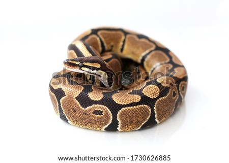 The ball python (Python regius) normal morph