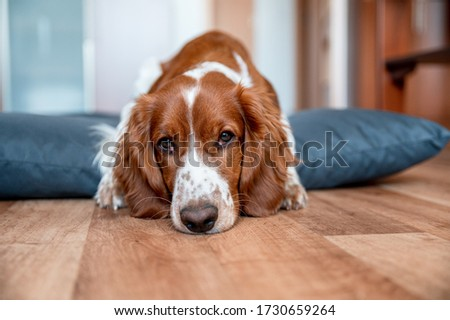 Cute welsh springer spaniel dog breed at home. Helthy adorable pretty dog. #1730659264
