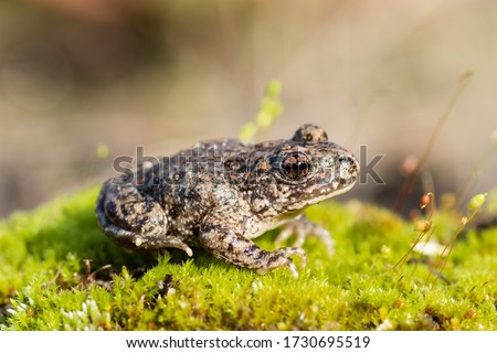 A common midwife toad (Alytes obstetricans) photographed in the north of Portugal.