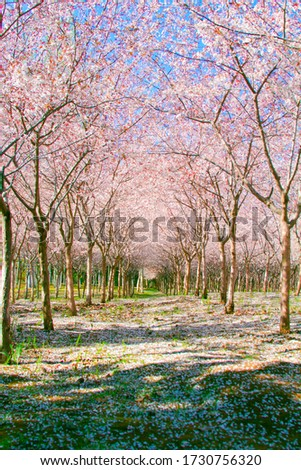 A beautiful path covered by pink cherry blossom. Spring in the park #1730756320