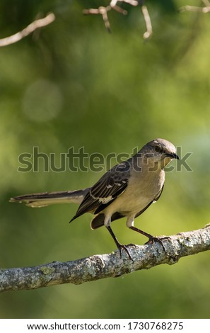 Northern Mockingbird perched on a tree branch