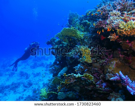 Scuba diver exploring colorful reef with fish. Underwater photography from scuba diving - corals, tourist and marine life. Blue tropical ocean and swimming diver. Aquatic wildlife, travel  picture.