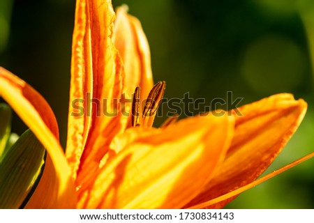 Picture of a orange daylily, corn lily, tiger daylily, ditch lily (Hemerocallis fulva) - close up