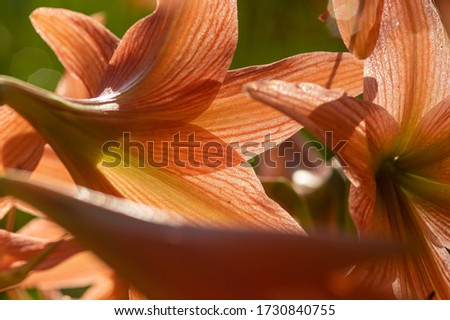 Picture of striped Barbados lily (Hippeastrum striatum) - close up