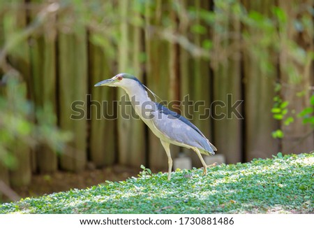 Heron.  The night Heron or night Heron has a short neck compared to other herons and a short but strong and powerful beak. The legs are also shorter than those of other herons.  #1730881486