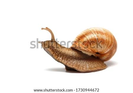 snail sliding on surface isolated on white Royalty-Free Stock Photo #1730944672