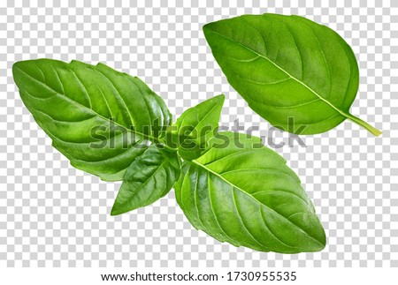 Fresh basil leaves close up isolated on transparent background including clipping path